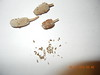 upright prairie coneflower - Ratibida columnifera (RACO3)