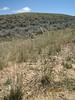 Western wheatgrass - Pascopyrum smithii (PASM)