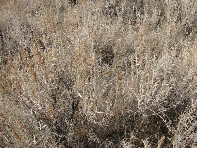 Silver sagebrush - Artemisia cana ssp. cana (ARCAC5)