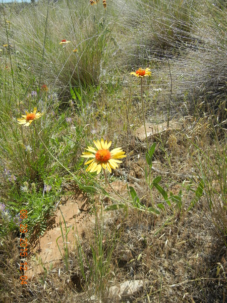 blanketflower - Gaillardia aristata (GAAR)