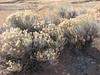 Rubber rabbitbrush - Ericameria nauseosa (ERNA10)