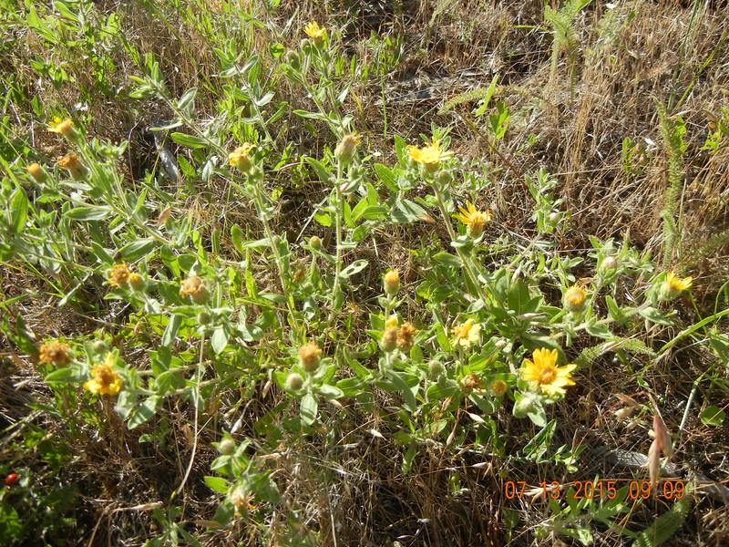 hairy false goldenaster - Heterotheca villosa (HEVI4)