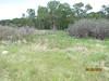 Field chickweed - Cerastium arvense (CEAR4)