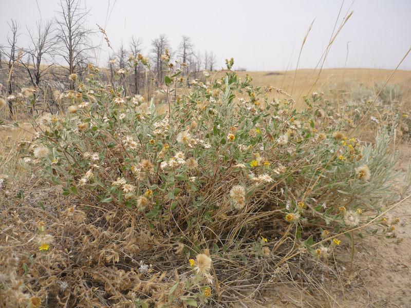 Hairy false goldenaster - Heterotheca villosa var. villosa (HEVIV)