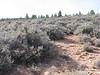 Curl-leaf mountain mahogany - Cercocarpus ledifolius (CELE3)