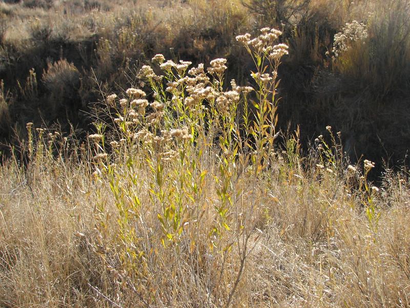 Spearleaf rabbitbrush - Chrysothamnus linifolius (CHLI3)