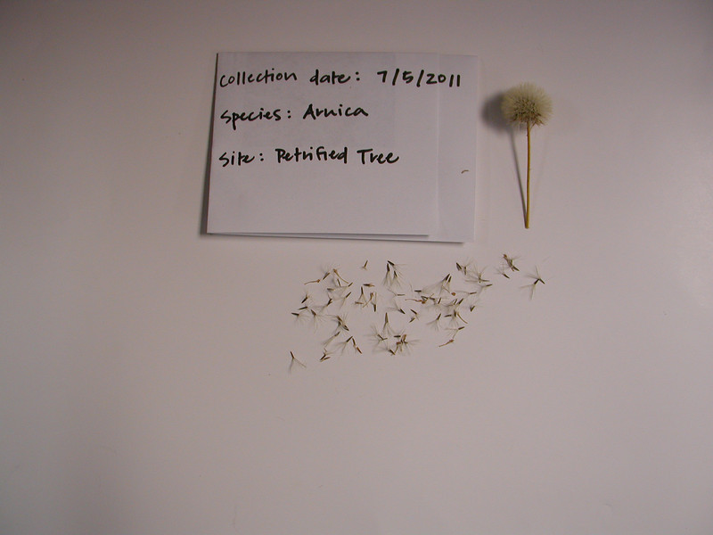 Twin arnica - Arnica sororia (ARSO2)