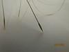 Needle and thread - Hesperostipa comata (HECO26)