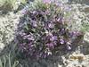 Barr's milkvetch - Astragalus barrii (ASBA)