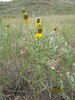 upright prairie coneflower - Ratibida columnifera (RACO3)