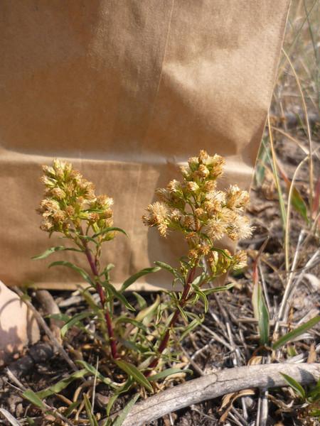 Missouri goldenrod - Solidago missouriensis (SOMI2)
