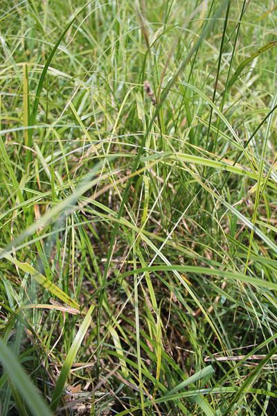 Nebraska sedge - Carex nebrascensis (CANE2)