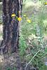 Kalm's hawkweed - Hieracium kalmii (HIKA2)