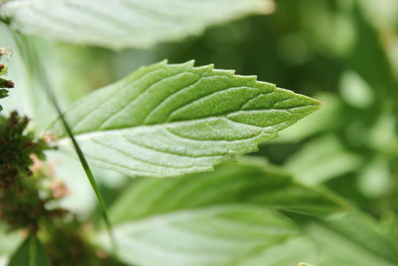 Wild mint - Mentha arvensis (MEAR4)