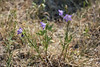 Bluebell bellflower - Campanula rotundifolia (CARO2)