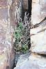 Slender lipfern - Cheilanthes feei (CHFE)