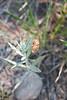 White sagebrush - Artemisia ludoviciana (ARLU)