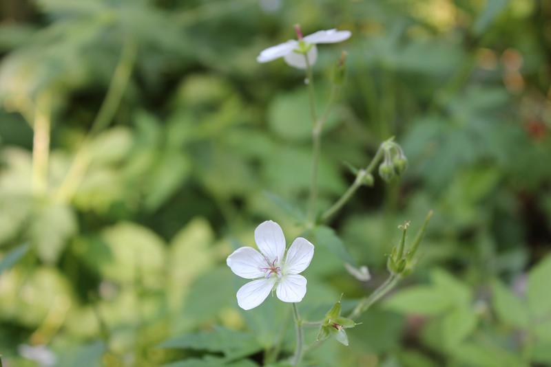 Richardson's geranium - Geranium richardsonii (GERI)