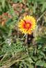 Common gaillardia - Gaillardia aristata (GAAR)