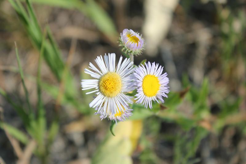 Threenerve fleabane - Erigeron subtrinervis (ERSU2)