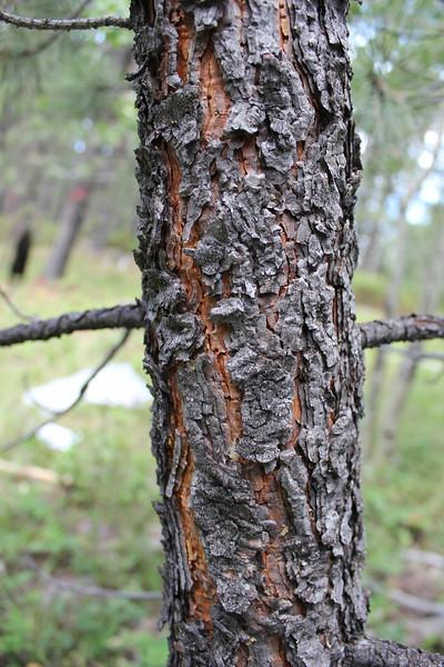 Ponderosa pine - Pinus ponderosa (PIPO)