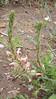 Scarlet beeblossom - Gaura coccinea (GACO5)