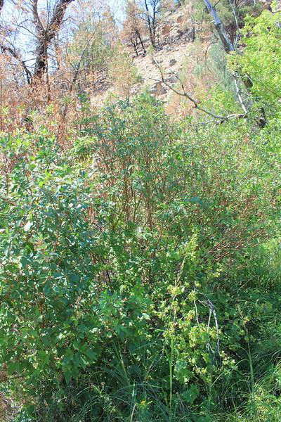 Redosier dogwood - Cornus sericea (COSE16)