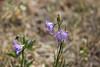 Bluebell bellflower - Campanula rotundifolia (CARO2)