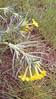 Narrowleaf stoneseed - Lithospermum incisum (LIIN2)
