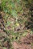 Field locoweed - Oxytropis campestris (OXCA4)