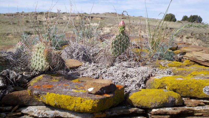 Plains pricklypear - Opuntia polyacantha (OPPO)