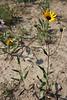 Stiff sunflower - Helianthus pauciflorus (HEPA19)