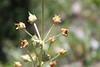Elkweed - Frasera speciosa (FRSP)
