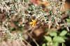 Chickenthief - Mentzelia oligosperma (MEOL)
