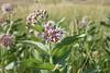Showy milkweed - Asclepias speciosa (ASSP)