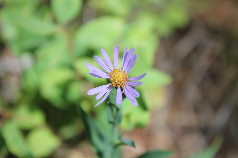 Subalpine aster - Eurybia merita (EUME17)