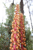 Woodland pinedrops - Pterospora andromedea (PTAN2)