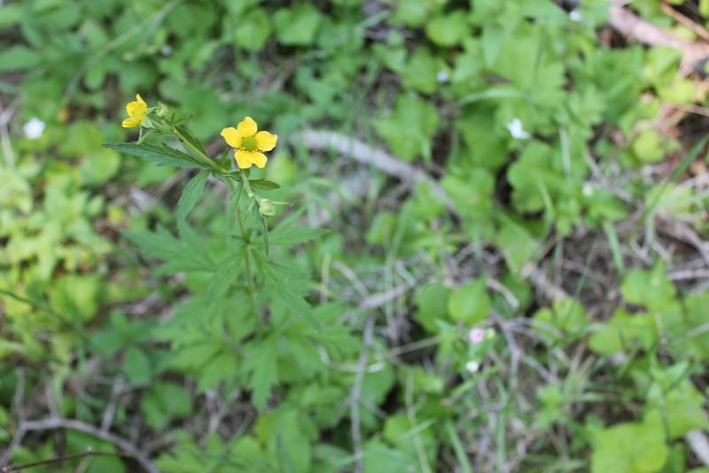 Yellow avens - Geum aleppicum (GEAL3)