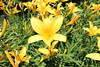 Hemerocallis 'Olallie Mack'