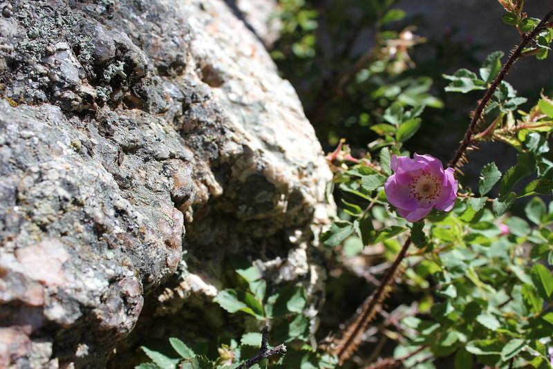 Prairie rose - Rosa arkansana (ROAR3)