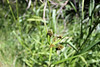 Cloaked bulrush - Scirpus pallidus (SCPA8)