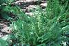 Christmas fern - Polystichum acrostichoides (POAC4)