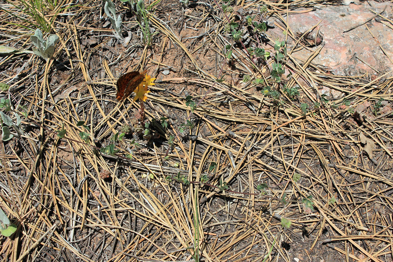 Spearleaf stonecrop - Sedum lanceolatum ssp. lanceolatum (SELAL)