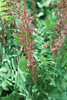 Royal fern - Osmunda regalis (OSRE)