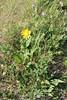 Fivenerve helianthella - Helianthella quinquenervis (HEQU2)
