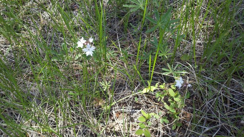 Smallflower woodland-star - Lithophragma parviflorum (LIPA5)
