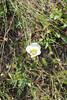 Gunnison's mariposa lily - Calochortus gunnisonii (CAGU)