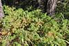 Common juniper - Juniperus communis (JUCO6)