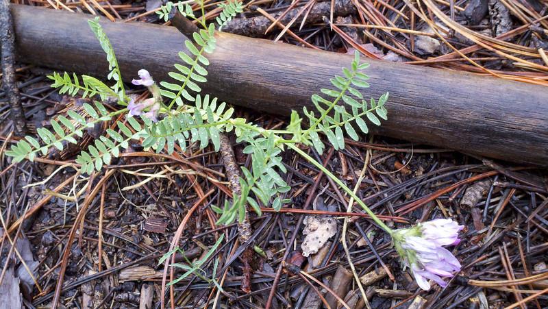 Prairie milkvetch - Astragalus laxmannii var. robustior (ASLAR)