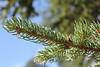 White spruce - Picea glauca (PIGL)